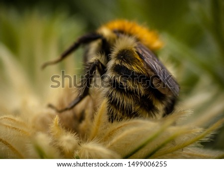 Hairy bee on a hairy flower #1499006255