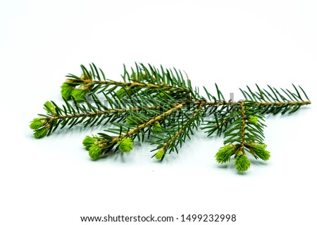 blooming fir branch isolated on white background Royalty-Free Stock Photo #1499232998