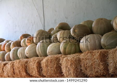 Orange and green pumpkings picking on hay haystack in country countryside store in autumn, fall for thanksgiving, halloween holidays. Organic pumpkins are on straws. It is called balkabagi in Turkish. #1499241290