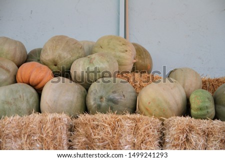 Orange and green pumpkings picking on hay haystack in country countryside store in autumn, fall for thanksgiving, halloween holidays. Organic pumpkins are on straws. It is called balkabagi in Turkish. #1499241293