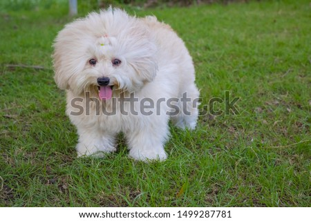 Long haired white toy poodle dog, Puppy poodle dog, Cute white poodle dog on green park, relax pet, puppy poodle dog standing looking
