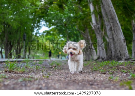 puppy dog, poodle terrier walking on park, Cute white poodle terrier, relax pet, poodle terrier mix