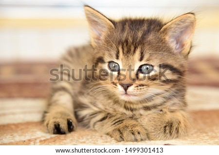 Cute little grey kitten with blue eyes relaxing  closeup. Portrait of red kitten . The kitten looks into the camera. adorable kitten outdoors. #1499301413