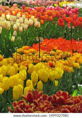 Beautiful brightly coloured tulips. Netherlands #1499327081