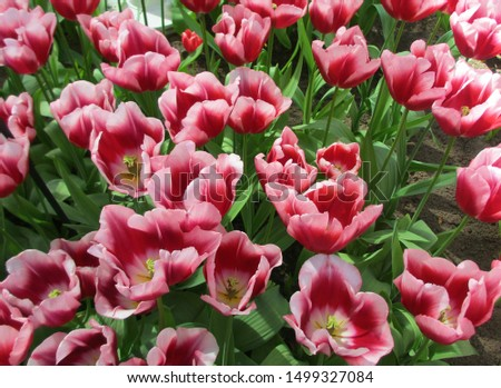 Beautiful brightly coloured tulips. Netherlands #1499327084