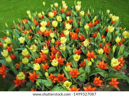 Beautiful brightly coloured tulips. Netherlands #1499327087