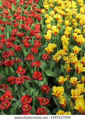 Beautiful brightly coloured tulips. Netherlands #1499327090