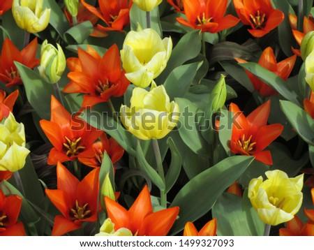 Beautiful brightly coloured tulips. Netherlands #1499327093