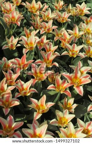 Beautiful brightly coloured tulips. Netherlands #1499327102