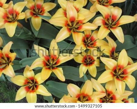 Beautiful brightly coloured tulips. Netherlands #1499327105