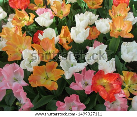 Beautiful brightly coloured tulips. Netherlands #1499327111