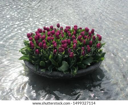 Beautiful brightly coloured tulips. Netherlands #1499327114