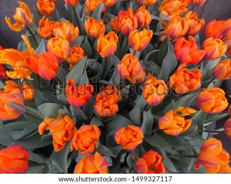 Beautiful brightly coloured tulips. Netherlands #1499327117