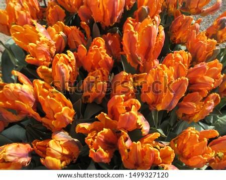 Beautiful brightly coloured tulips. Netherlands #1499327120
