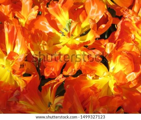 Beautiful brightly coloured tulips. Netherlands #1499327123