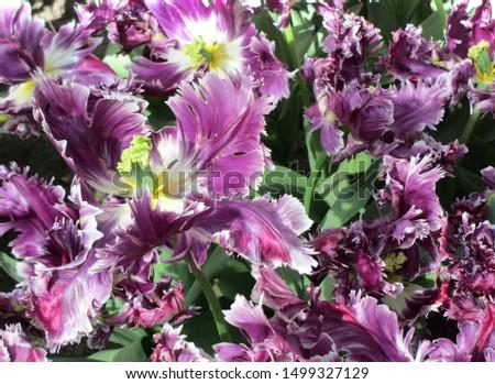 Beautiful brightly coloured tulips. Netherlands #1499327129