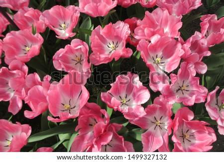 Beautiful brightly coloured tulips. Netherlands #1499327132