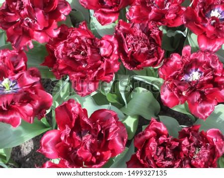 Beautiful brightly coloured tulips. Netherlands #1499327135