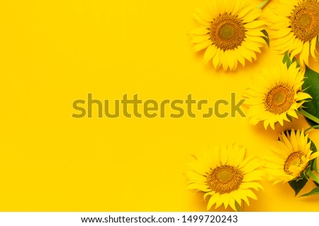 Beautiful fresh sunflowers with leaves on stalk on bright yellow background. Flat lay, top view, copy space. Autumn or summer Concept, harvest time, agriculture. Sunflower natural background #1499720243