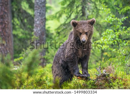 Cub of Brown Bear in the  summer forest. Green natural background. Natural habitat. Scientific name: Ursus arctos.  #1499803334
