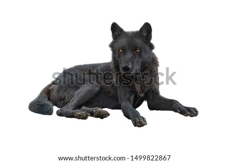 canadian wolf isolated on white background