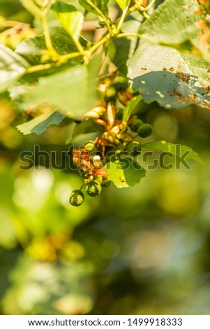 Rare parasitic proliferation in female Alder plugs of Elder tree by Elder flag, Taphrina amentorum, with visible green-red coloring tongue-shaped or worm-shaped fruiting body #1499918333
