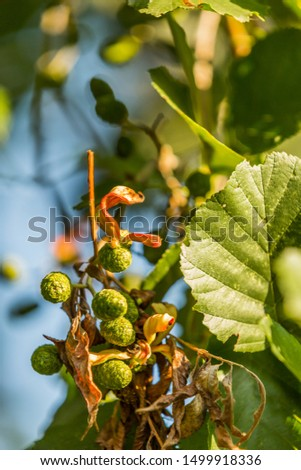 Rare parasitic proliferation in female Alder plugs of Elder tree by Elder flag, Taphrina amentorum, with visible green-red coloring tongue-shaped or worm-shaped fruiting body #1499918336