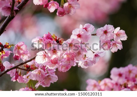 Cherry blossoms at Kyoto Hirano Shrine (Yoko) #1500120311
