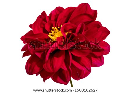 Dahlia flower, Red dahlia flower with yellow pollen isolated on white background, with clipping path      #1500182627