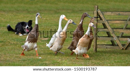 Ducks being herded by a Border Collie Dog. Royalty-Free Stock Photo #1500193787