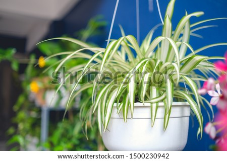 Chlorophytum comosum, Spider plant  in white hanging pot / basket, Air purifying plants for home, Indoor houseplant, Hanging plant, Vertical wall garden, Houseplants With Health Benefits concept #1500230942