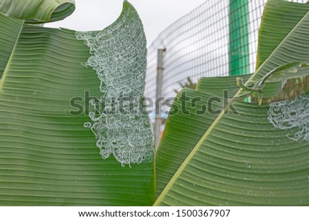 Agromyzidae attack on banana leaves. #1500367907