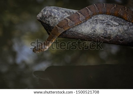 North American brown water snake Royalty-Free Stock Photo #1500521708