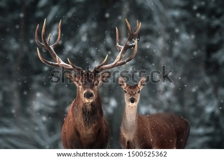 Noble deer male and female in winter snow forest.  Royalty-Free Stock Photo #1500525362