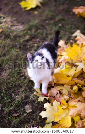 Black and white cat on a background of yellow maple leaves. Marilyn Monroe in feline guise