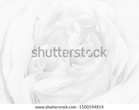 high-key watermark monochrome bright isolated white rose blossom macro,white background,fine art still life single bloom