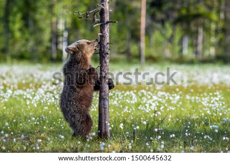 Bear cub on the swamp in the summer forest, among white flowers. Bear Cub stands on its hind legs.   Scientific name: Ursus arctos. #1500645632