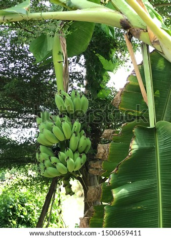 Cultivated banana tree produce the fruit. #1500659411