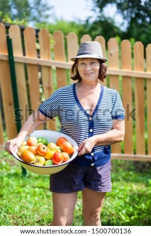 beautiful woman picks a crop of tomatoes #1500700136