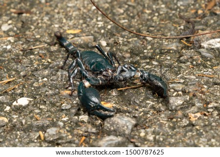 A black scorpion on ground outdoor in national park garden. Tropical forest in summer season. An insect in Kanchanaburi district, Thailand. #1500787625