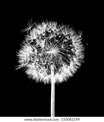 Dandelion flower on black background Royalty-Free Stock Photo #150081599