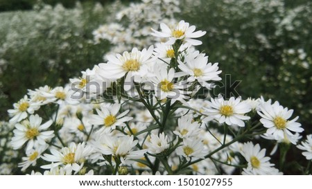white flowers of Italian Asters, Michaelmas Daisy (Aster Amellus), Aster ericoides, Fall Aster, white blossom growing in garden. #1501027955