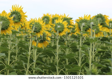 field of sunflowers from the back #1501125101