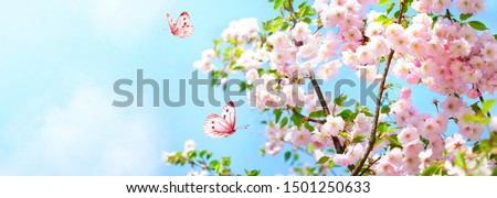 Branches blossoming cherry on background blue sky, fluttering butterflies in spring on nature outdoors. Pink sakura flowers, amazing colorful dreamy romantic artistic image spring nature, copy space