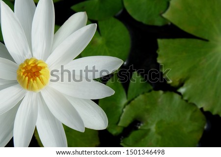 closeup​ the white lotus flower is placed on the left side of the picture with green leaves in the pond.