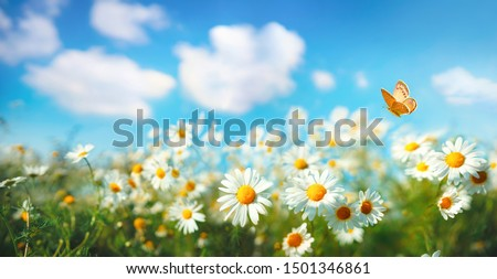 Flowers daisies in summer spring  meadow on background blue sky with white clouds, flying orange butterfly, wide format. Summer natural idyllic pastoral landscape, copy space. #1501346861