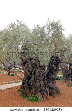Ancient Olive Tree in the middle of Gethsemane #1501389356