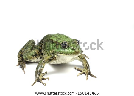 green moor frog on a white background #150143465