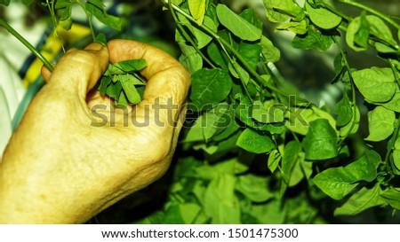 sayur manis, pucuk manis, sayur sabah, mani cai, greens from Borneo #1501475300