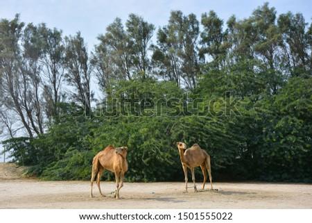 Royal camel farm in Bahrain #1501555022